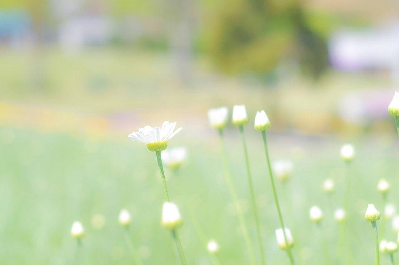 天然除虫菊